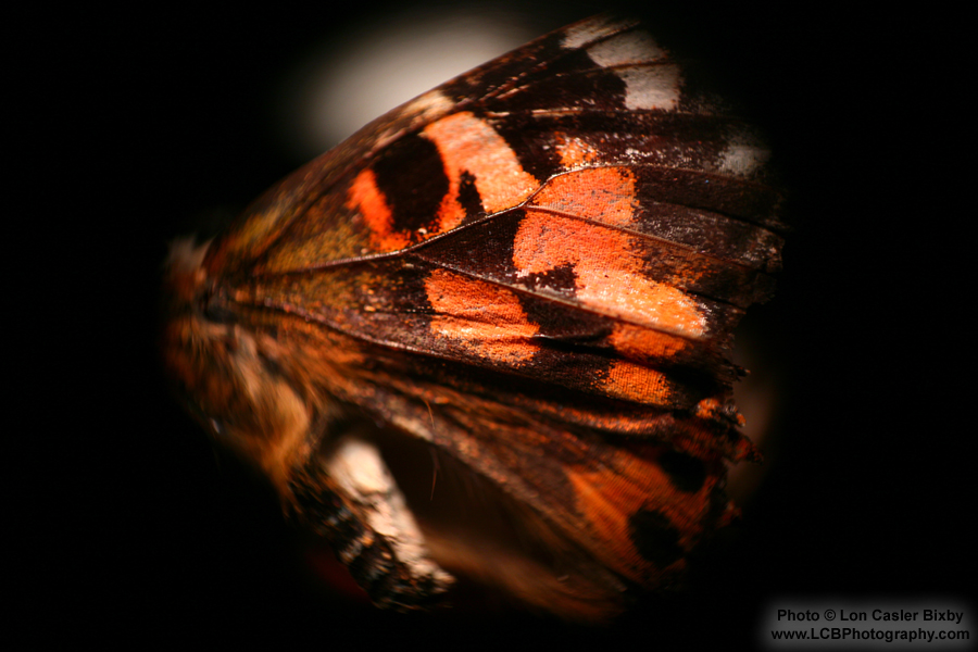 Conversations with a Butterfly - Wing - Photography by Lon Casler Bixby - Copyright - All Rights Reserved - www.LCBPhotography.com