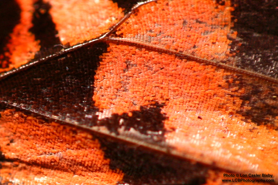 Conversations with a Butterfly - Wing (Detail) - Photography by Lon Casler Bixby - Copyright - All Rights Reserved - www.LCBPhotography.com