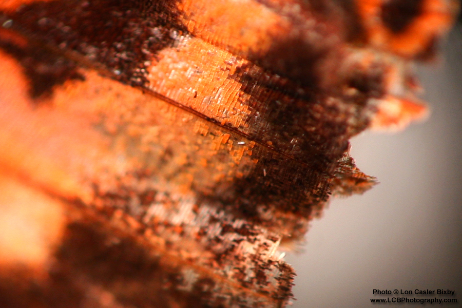Conversations with a Butterfly - Wing's Edge (Detail) - Photography by Lon Casler Bixby - Copyright - All Rights Reserved - www.LCBPhotography.com